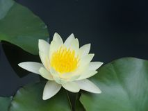 Lotus flower or water lily white with green leaves. Beautifully blooming in the spa pool to decorate. It is the flower of the month. July is also related to Stock Photography