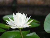 Lotus flower or water lily white with green leaves. Beautifully blooming in the spa pool to decorate. It is the flower of the month. July is also related to Stock Photo
