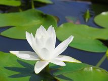 Lotus flower or water lily white with green leaves. Beautifully blooming in the spa pool to decorate. It is the flower of the month. July is also related to Royalty Free Stock Image