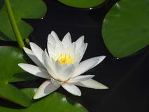 Lotus flower or water lily white with green leaves. Beautifully blooming in the spa pool to decorate. It is the flower of the month. July is also related to Royalty Free Stock Images