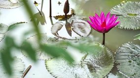 Lotus Flower on the water look beautiful Royalty Free Stock Photo