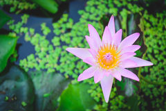 Lotus flower in water tank with blurry lleaves stock image