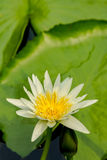 Lotus flower. Royalty Free Stock Images