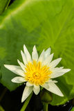 Lotus flower. Royalty Free Stock Image