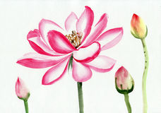 Lotus flower watercolor painting Royalty Free Stock Photo