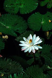 Lotus flower or waterlily among green leaves in deep water Stock Photos