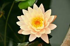 Lotus flower or waterlily Stock Image