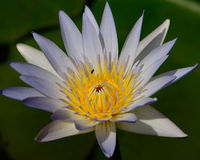 LOTUS FLOWER WHIT FLY IN CITY OF BANGKOK  THAILAND Royalty Free Stock Photography