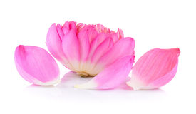 Lotus flower on white background Royalty Free Stock Photography