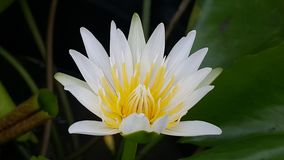 Lotus. Flower  white flower with yellow stamens Royalty Free Stock Photography