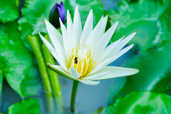 Lotus flower. White lotus flower in the river Stock Photo