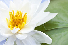 Lotus flower. White lotus flower or water lily floating stock image