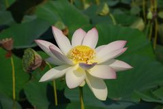 Lotus flower in the wild field wetland stock images