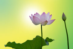 Lotus flower on yellow background Stock Photos