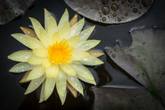Lotus flower. Yellow Lotus flower beautiful lotus Royalty Free Stock Photos