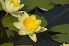 Lotus flower yellow. Color in the pond Royalty Free Stock Photos