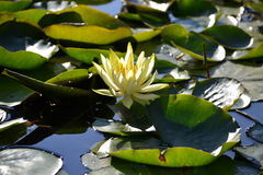 Lotus flower Zenabbildung Stock Image
