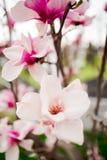 Lotus-flowered Magnolia Royalty Free Stock Images