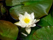 A lotus flowering on the water Stock Image