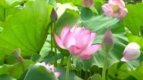 Lotus Flowers Lizenzfreies Stockfoto
