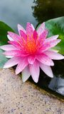 Lotus Flowers Fotografia de Stock Royalty Free