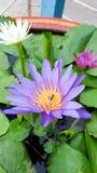 Lotus Flowers Imagens de Stock Royalty Free