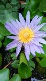 Lotus Flowers Imagem de Stock Royalty Free
