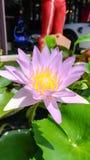 Lotus Flowers Imagens de Stock