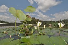 Lotus flowers Stock Image