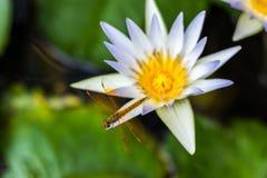 Lotus Flowers stockfotografie