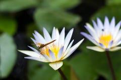 Lotus Flowers stockbilder