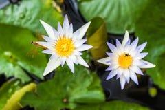 Lotus Flowers lizenzfreie stockfotografie