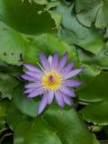 Lotus Flowers imagen de archivo libre de regalías