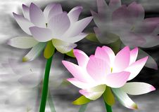 Lotus flowers Stock Images