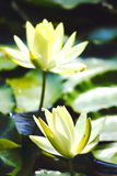 Lotus flowers. Lotus flower in a pond, close up shot Stock Photography