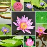 Lotus flowers. Set of beautiful lotus flowers Stock Photo