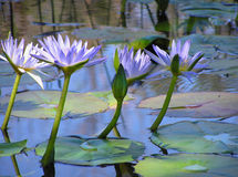 Lotus Flowers. Growing in a dam near our house Royalty Free Stock Images