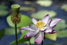 Lotus flowers. Some lotus flowers, one opened, the other witted Stock Images