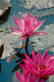 Lotus Flowers. The purple bloom in the pond Lotus Stock Photo