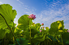 Lotus flowers. In the sunshine royalty free stock photo