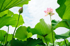 Lotus Flowers Lizenzfreies Stockbild