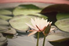 Lotus Flowers Royaltyfri Foto
