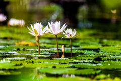 Lotus Flowers Lizenzfreies Stockbild