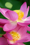 Lotus Flowers lizenzfreie stockfotos
