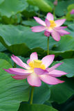 Lotus Flowers stock foto