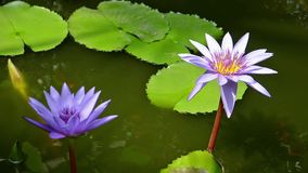 Lotus Flowers stock video footage