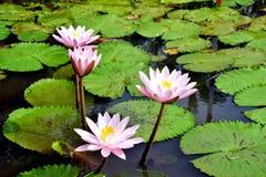 Lotus Flowers Imagenes de archivo