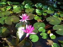 Lotus Flowers Fotografering för Bildbyråer