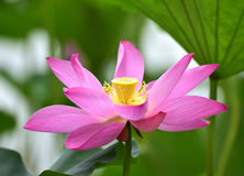 Lotus Flowers Stockfoto