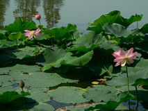 Lotus flowers. On a lake front stock photos